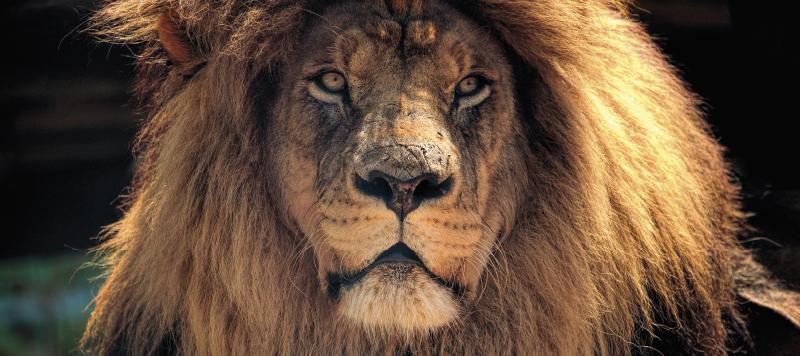 TenVinilo. Alfombrilla ratón original imagen de león. Alfombrilla ratón original animal que presenta una imagen asombrosa de un león mirando fijamente a la cámara ¡Materiales de alta calidad!