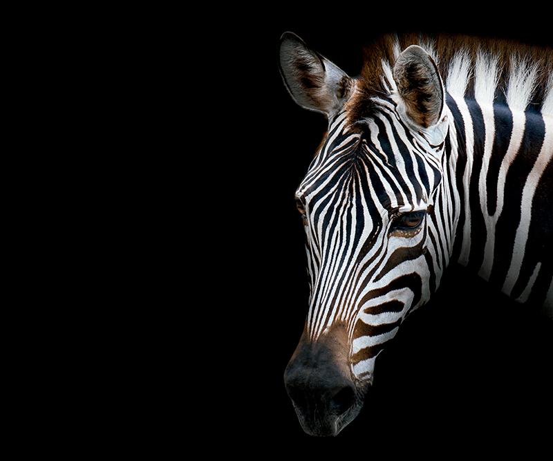 TenVinilo. Alfombrilla ratón original cebra blanco y negro. Alfombrilla de ratón de cebra que presenta una imagen impresionante de una cebra con un fondo negro oscuro. La cebra se ve muy realista.