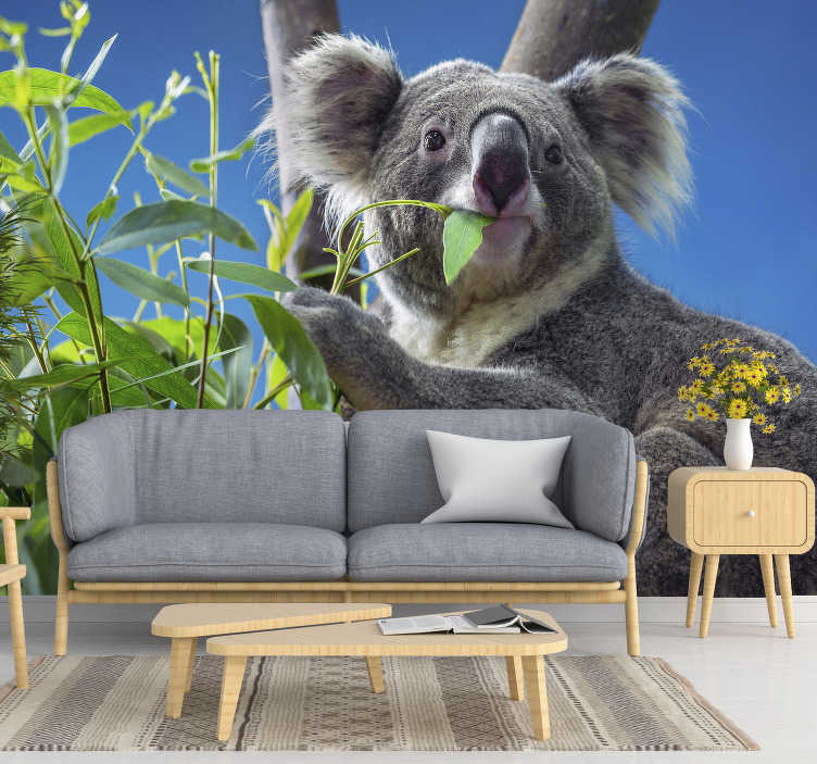 TenStickers. Koala eating eucalyptus leaves mural wallpaper. In a quick and inexpensive way, you can bring some nature to your house with this animal wall mural. Is there anything better than this cute koala?