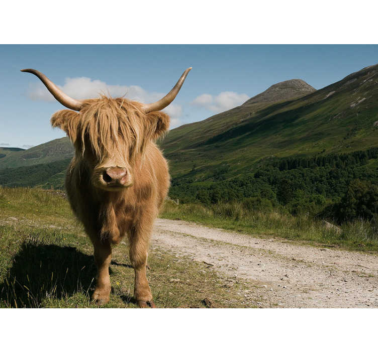 TenStickers. Scottish high lander animal mural wallpaper. Perhaps the cutest of Bristish cattle, a Scottish high lander, with its fluffy brown fur this animal wall mural is definitely a firm favourite of ours