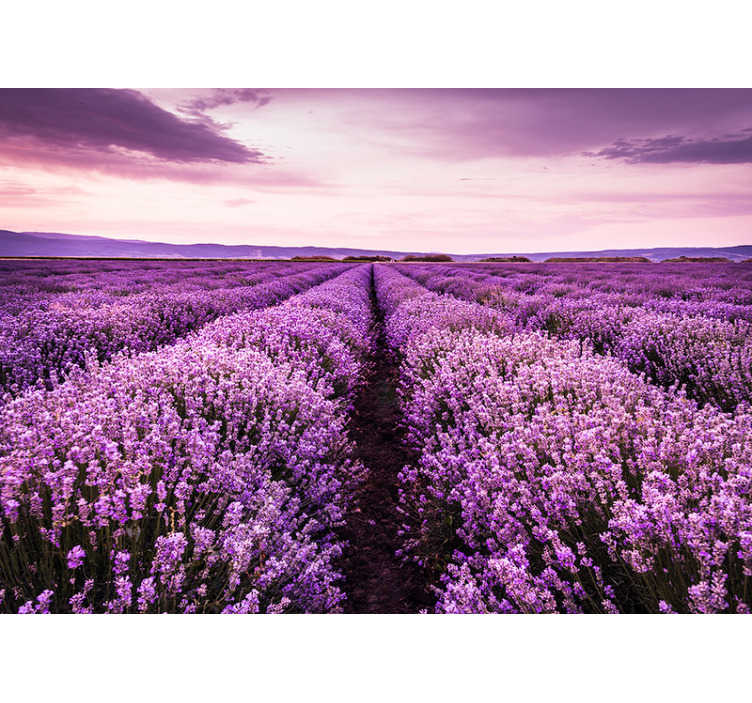 TenStickers. Provence lavender mural wallpaper. It is well known that lavender has a calming quality and why not have it on your walls like this flower photo mural with a beautiful field of lavender