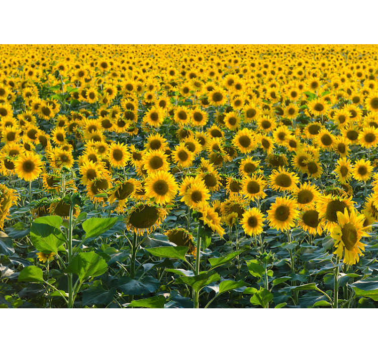 TenStickers. Huge sunflower field mural wallpaper. This floral photo wallpaper shows a huge field with beautiful sunflowers The bright yellow will be the highlight of your home!