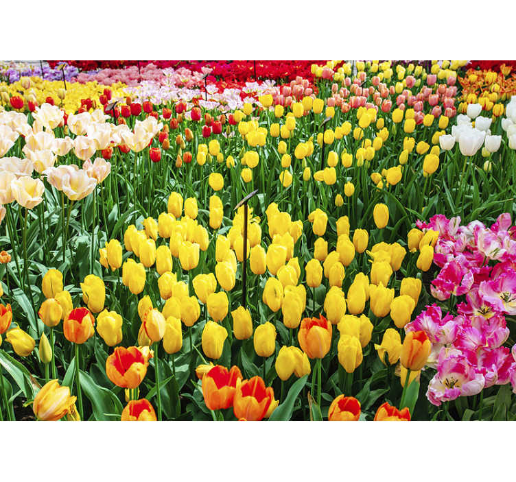 TenStickers. Tulips flower wall mural. A beautiful tulip flower wall mural design. This design contains tulips in multiple of colours like a garden. This product is easy to apply.