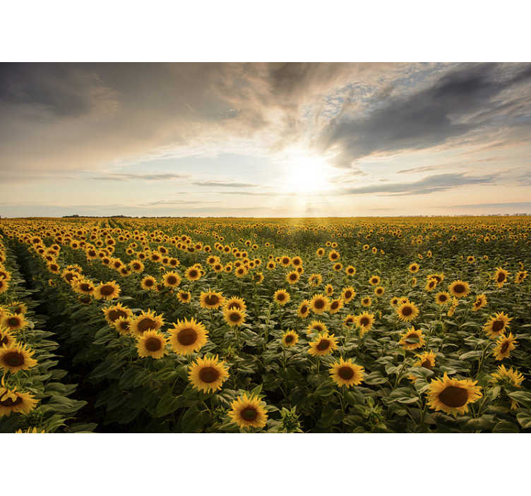 TenStickers. Photo murale Champ de tournesols en fleurs. Photo murale d'un champ sans fin de tournesols en fleurs. Est-ce déjà un paradis ? Commandez- la dans la taille qu'il vous faut pour une décoration unique !