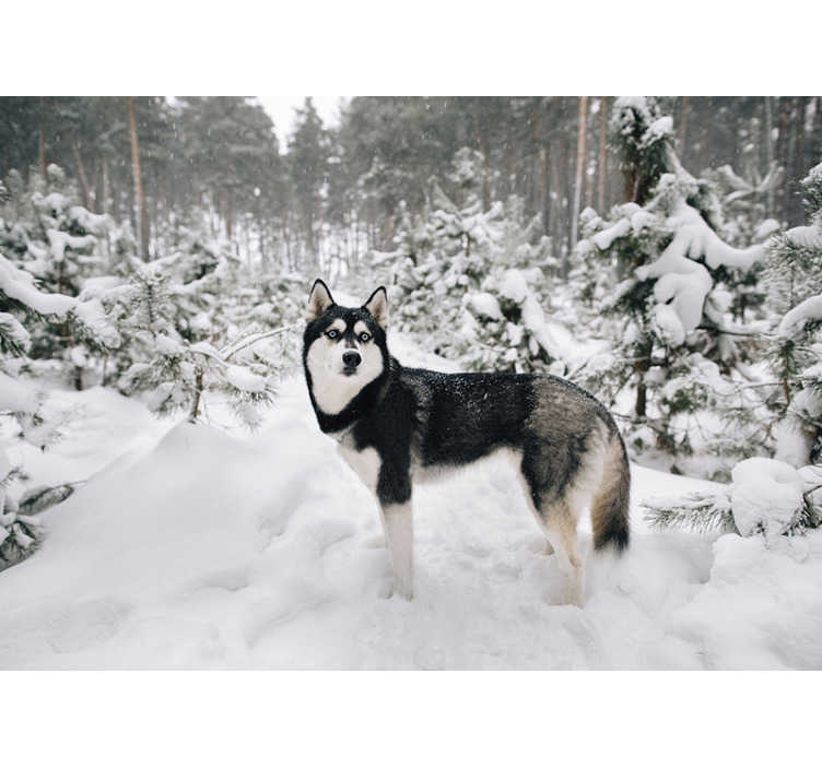 TenStickers. Winter forest and husky dog mural wallpaper. Do you like winter, and is this the most favorite season? Then we have this beautiful winter forest and husky dog photo wallpaper with snow for you!