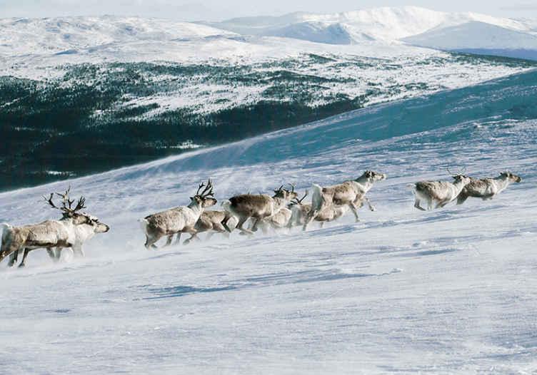 Tenstickers. Poro kävely lumi tapetti kuvalla luonto valokuvatapetti. Poro kävelee lumella luonnon tapetti kuvalla sisustaa kotisi esittelemällä sitä luonnon ripaus. Helppo levittää ja kestävä.
