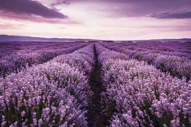 TenStickers. Fotomurais plantas e flores Flores roxas no prado. fotomural vinílico de parede de prado de flores roxas para sua casa. Crie uma atmosfera incrível em seu espaço com este produto incrível. Feito de material de qualidade.