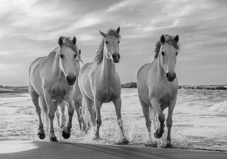 TenStickers. Photo murale d'animaux Chevaux qui courent. Murale d'un dessin de trois chevaux courant dans un champ, une photo en noir et blanc qui donnera une touche classique à l'espace où vous l'appliquez.
