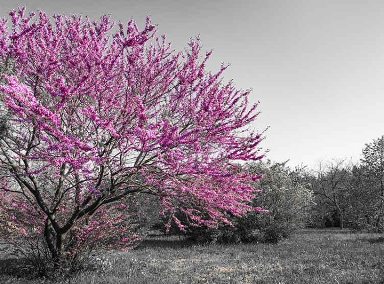 TenVinilo. Fotomural árboles primavera escala grises. Fotomural árboles rosa y gris para el hogar, la oficina y otros lugares. Está hecho con material de alta calidad y duradero ¡Envío exprés!