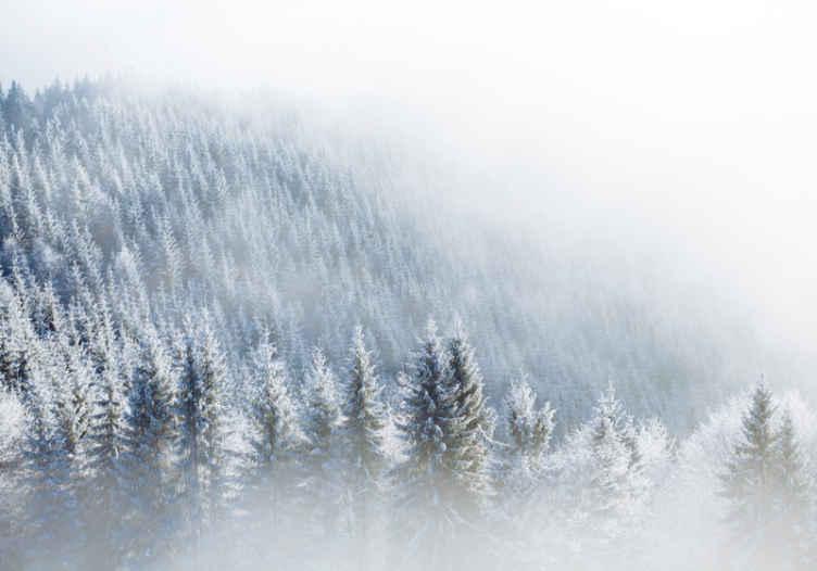 TenStickers. Fototapeta zasněžené vánoční stromky. Tato krásná nástěnná fototapeta pochází z naší zimní kolekce, která byla inspirována říší divů a zasněženým lesem. Snadno se nanáší a čistí!