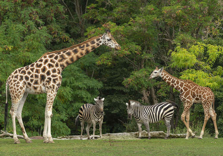 TenStickers. fotomural vinílico de parede de animais africanos. Belo fotomural vinílico de parede de animais com girafas e outros animais de safári africano com uma floresta verde atrás. Fácil de aplicar e remover. Entrega ao domicílio!
