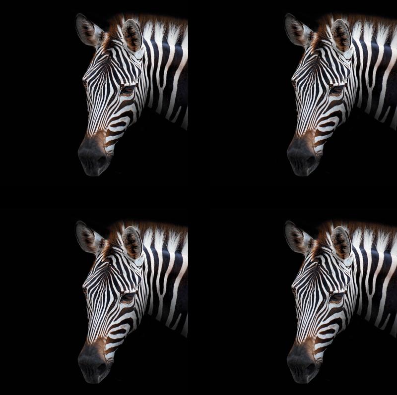 TenStickers. Zebra picture zebra coaster. Tutti i tuoi ospiti rimarranno stupiti e potrai sfoggiare con orgoglio il tuo nuovo decoro che tutti ti invidieranno. Facile da applicare.