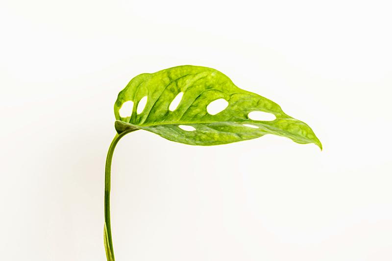 TenStickers. Monstera bladplante vægtryk. Monstera blad lærred, der har et fantastisk billede af et blad fra en monstera (schweizisk ost) plante. Tilmeld dig 10% rabat.
