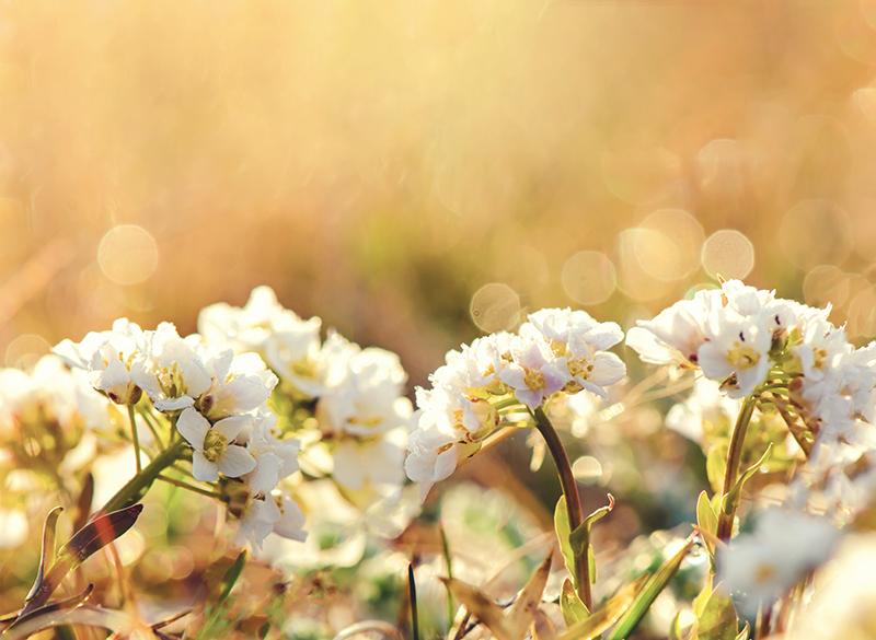 Tenstickers. Valkoisia kukkia canvas olohuoneeseen. Kaunis valkoinen kukka-kangas - voit koristella tämän kankaan kotisi, toimisto-, liike-, kylpylä- ja muihin tiloihin.