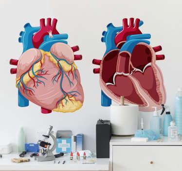 Vinil decorativo de medicina e saúde da ilustração anatómica do coração humano. Um design detalhado tanto da parte exterior como da parte interior do nosso coração.