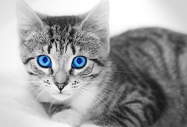 TenStickers. Blue Eyed Cat Laptop Sticker. A photo of a cute blue eyed cat that can be used as a laptop skin. From our large collection of cat stickers, style your laptop with this unique design.