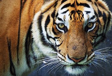 TenStickers. laptop sticker tijger. Op deze laptop sticker is een schitterend ontwerp van een tijger te zien. Creëer hiermee een unieke laptop. Ervaren ontwerpteam.