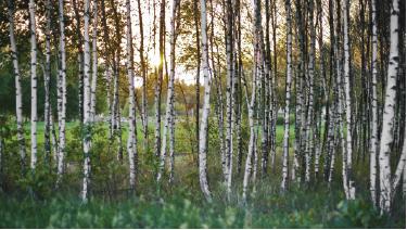 TenStickers. Mural de parede da floresta. Apresentamos uma fotomural em formato de autocolante decorativo ilustrando uma floresta com árvores brancas e o por-do-sol no fundo.