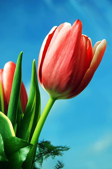TenStickers. Nalepka za posodo tulipana. Nalepka za recikliranje zabojnikov za recikliranje, oblikovana s cvetjem tulipana. Na voljo je v poljubni velikosti in je enostaven za nanašanje, saj je samolepen.