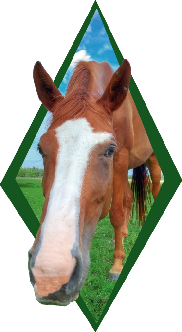 TenStickers. Horse head  farm animal sticker. Buy our original and realistic horse head wall sticker to decorate the home or office space. It is easy to apply and it comes in any required size.