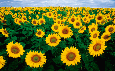 TenStickers. Sunflower fields laptop skin. If you love sunflowers, then his self-adhesive vinyl for PC with images of an endless field of sunflowers is perfect for you.