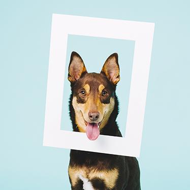 TenStickers. Container sticker hond in lijst. De decoratie sticker bestaat uit een blauwe achtergrond met daarop het plaatje van een herdershond die zijn hoofd door een lijst heeft.