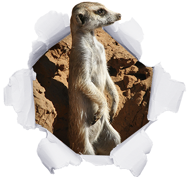 TenStickers. Meerkat dustbin decal. Decorative recycling dustbin container sticker with the design of a Meerkat  breaking out of a paper background. It is available in any size required.