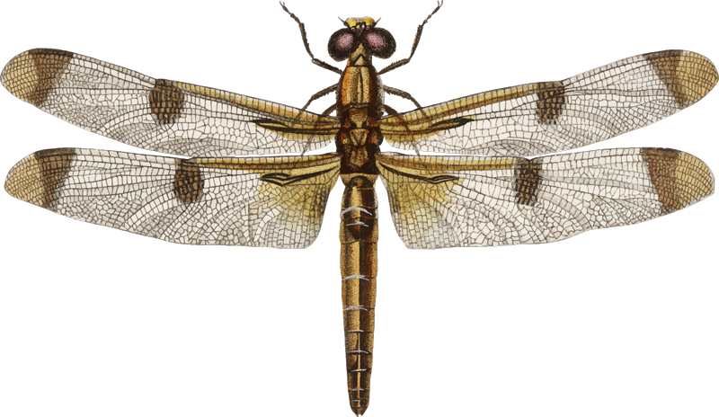 TenStickers. Dragonfly Insect Wall Sticker. Decorate your home with this superb insect sticker, depicting the Dragonfly in all of its might and glory! Personalised stickers.