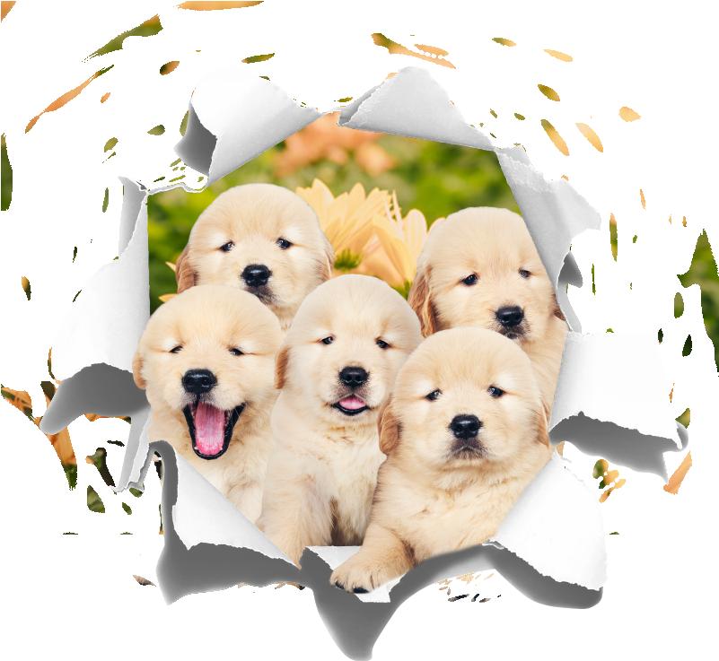 TenVinilo. Vinilo habitación juvenil trampantojo cachorros. Vinilo formado por la ilustración de un hueco en la pared, del cual aparecen cinco cachorros de golden retriever. Vinilos Personalizados a medida.
