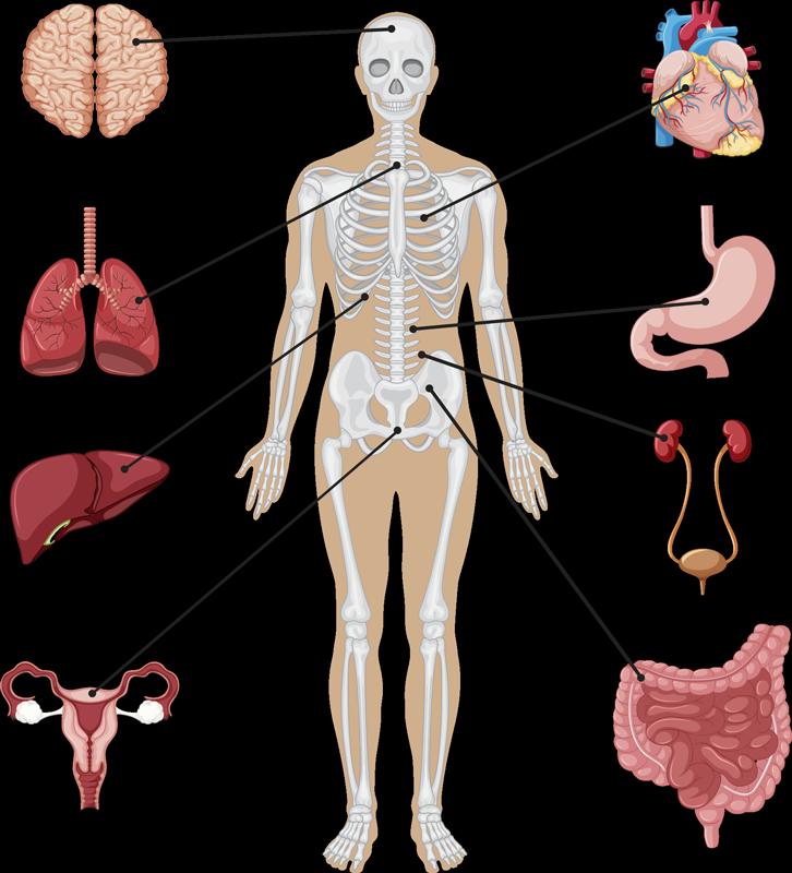 TenStickers. Disegno per pareti corpo umano. Questo incredibilmente accurato adesivo murale corpo umano mostra lo scheletro umano e il posizionamento di alcuni organi vitali.