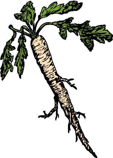 TenStickers. Witte wortel sticker. Muursticker van een organische verse witte wortel! Decoreer jouw winkeltje of je eigen woning dankzij een van onze muurstickers van groente of fruit.