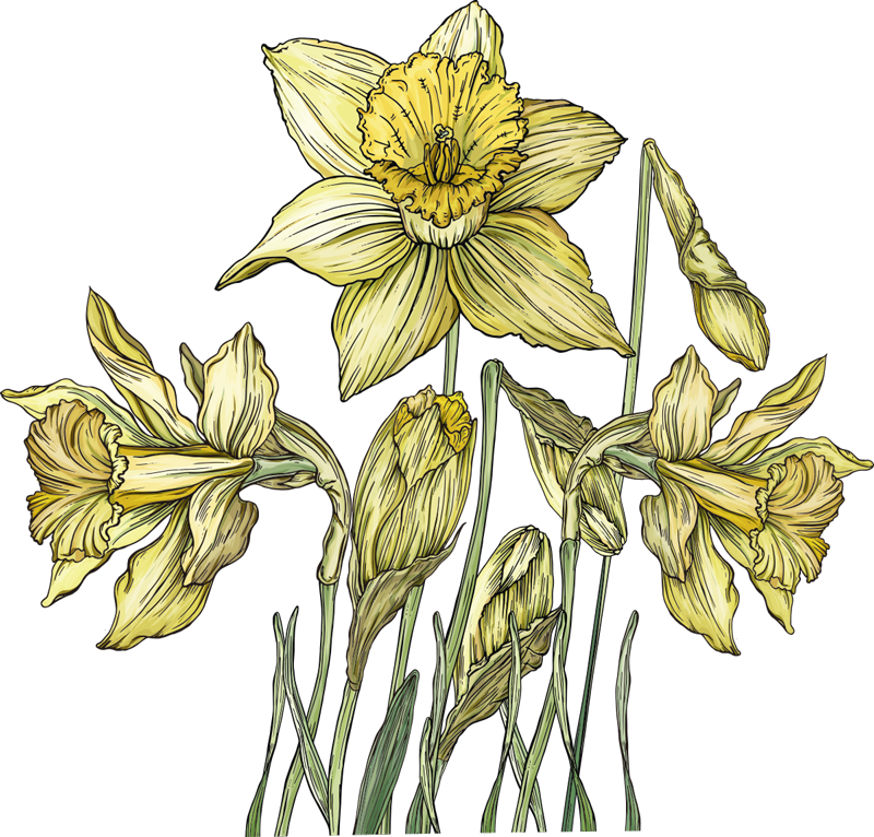 TenStickers. Daffodils flower wall decal. Daffodils flower plant home decal design of the a yellow bright bulbous European origin flower that will lighten up the surface of your home