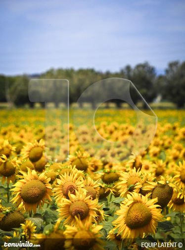 TenStickers. Sunflower Field Wall Mural. Photo Mural - Latent Estudi Photography. Beautiful field of sunflowers under a blue sky. Bring colour to any room with this mural.