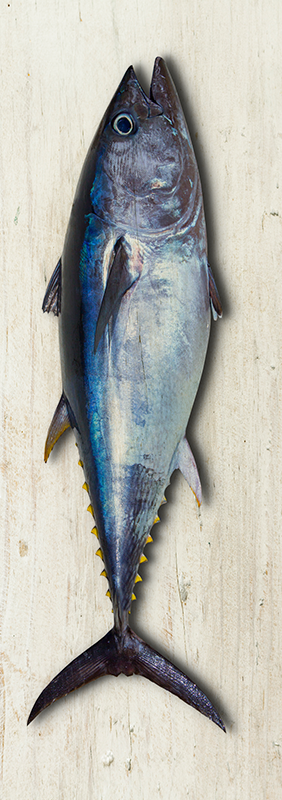 TenStickers. Tuna fridge wrap. Decorate the fridge surface with this original tuna fish decal with the real look of a big fish. Buy it in the size that you prefer for the product.