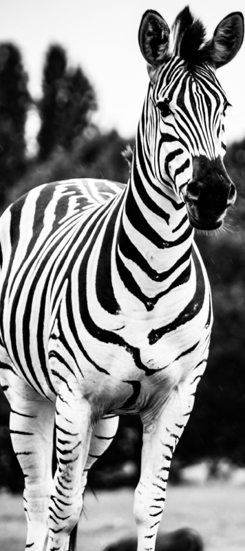 TenStickers. Black and white zebra glass door sticker. Best quality vinyl door sticker with the design of a black and white zebra on it in an original visual appearance. Easy to apply.