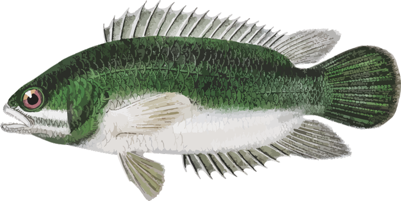 TENSTICKERS. パーチラップトップスキン. スズキの魚のデザインの装飾的なビニールのラップトップのステッカー。目的の表面に完全に一致するカスタマイズ可能なサイズで購入してください。