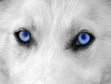 TenStickers. Wolf Eyes Laptop Sticker. Incredible design of a wolf´s crystal blue eyes that you can use as a laptop sticker. This wolf sticker will give your laptop a unique design and set it apart from the rest.