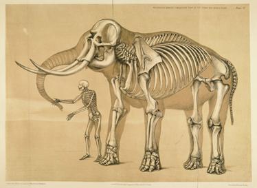 TenStickers. скелет человека и слона декоративная наклейка. этот специальный дизайн показывает скелет человека и слона. Эта наклейка на стену из слона идеально подходит для того, чтобы придать оригинальный вид вашему дому!
