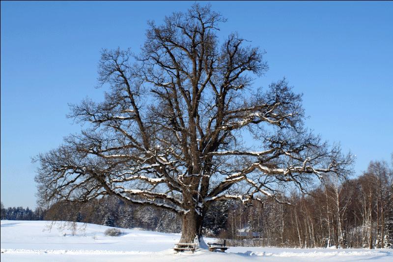 TenVinilo. Vinilo árbol nevado. Fotomural de autor con la imagen de un gran árbol sin hojas en invierno. Una fotografia en la que la nieve cubre todo el suelo y parte de las ramas del árbol.