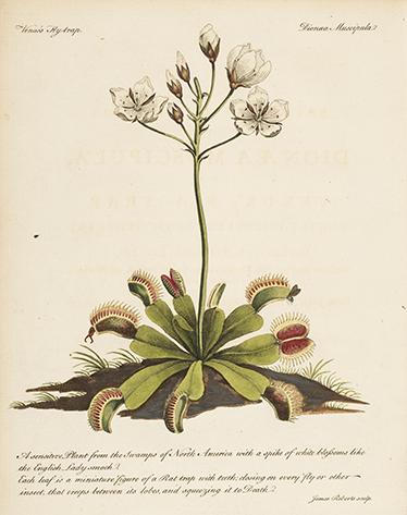 TenStickers. Adesivo flor antiga botânica. Da nossa coleção de vinis decorativos de flores e plantas, uma reprodução antiga de uma ilustração de um livro de botânica.