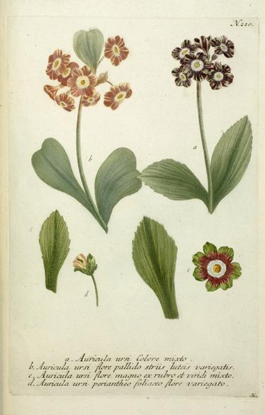 TenVinilo. Vinilo lámina grabado auricula. De nuestra colección de vinilos fotomurales de flores y plantas una reproducción de una ilustración de un antiguo libro de botánica.