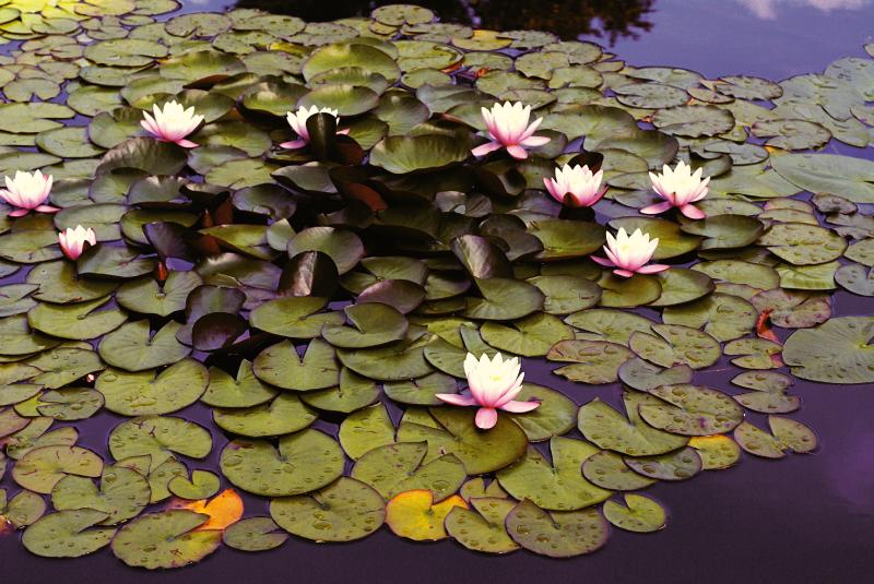 TenVinilo. Alfombra vinilo flor de loto en el estanque. Alfombra de vinilo para habitación de flores de loto. Está fabricado con material de primera calidad y súper duradero ¡Envío exprés a domicilio!