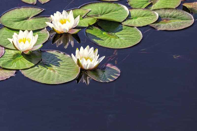 TenStickers. Realist de lotus în covor cu flori de iaz. Iaz de covor de vinil cu lotusuri. Va fi un decor minunat pentru dormitorul sau camera de zi. Puteți alege orice dimensiune. Verifică!