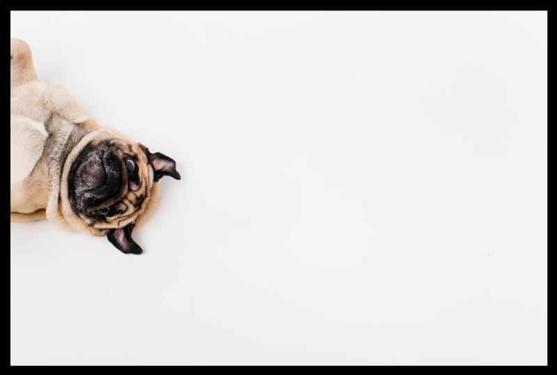 TenStickers. Tapete de animal pug realista. Material feito de alta qualidade e muito duradouro para este produtode tapete de vinil animal. Material antiderrapante e antialérgico! Compre agora!