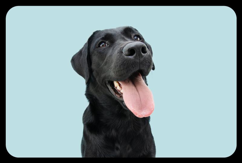 TenStickers. Tapete animal de cão sorridente. Nós podemos garantir que apenas os melhores materiais de qualidade são usados na produção deste incrível tapete de vinil animal! Entrega em domicílio hoje!