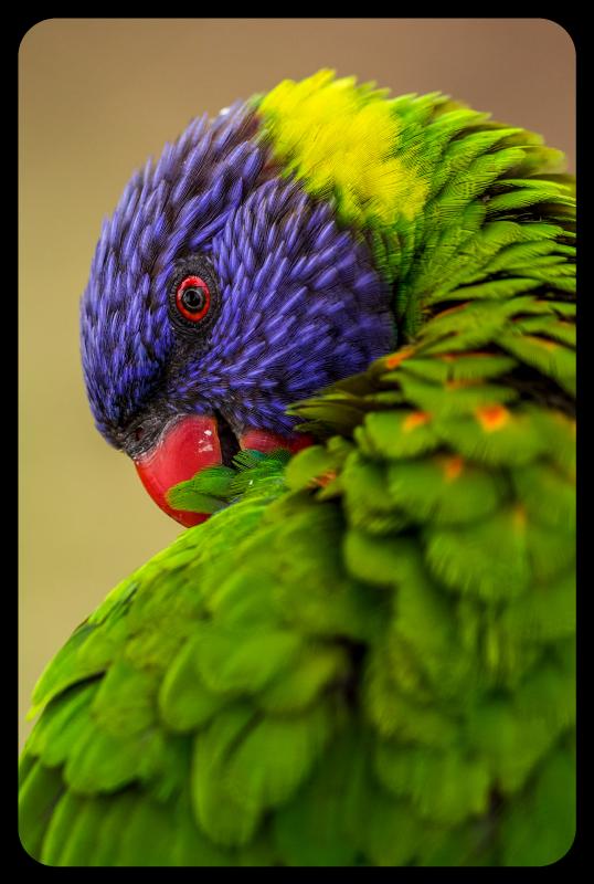 TenStickers. Tapete de animal papagaio arco-íris. Traga um pouco de cor para sua sala de estar com este incrível tapete de animais de papagaio arco-íris! Não espere mais e peça seu novo tapete com estampa animal agora!