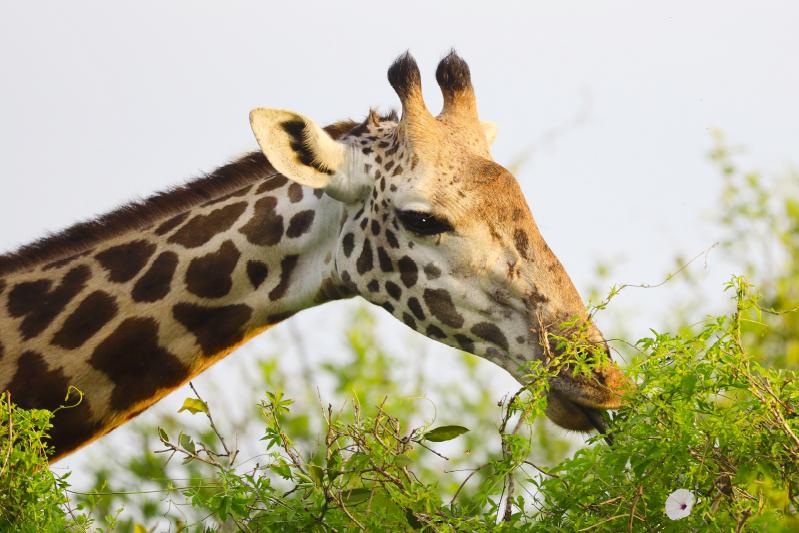 TenStickers. Hayvan uzun boylu zürafa vinil halı. Hayvan vinil halının bu özel tasarımı, uzun bir ağaçtan ot yiyen çarpıcı bir zürafanın resmidir. Boyutları ve eve teslimatı seçin!