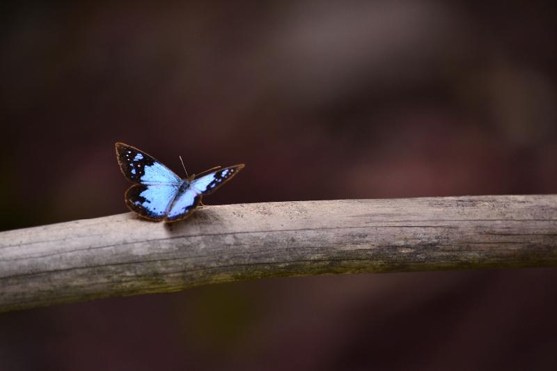 TenStickers. Tapete vinil para gabinete Borboleta azul animal. Um tapete de vinil de borboleta decorativo muito bonito que vai realmente dar mais luz à sua casa! Entrega em todo o mundo está disponível!